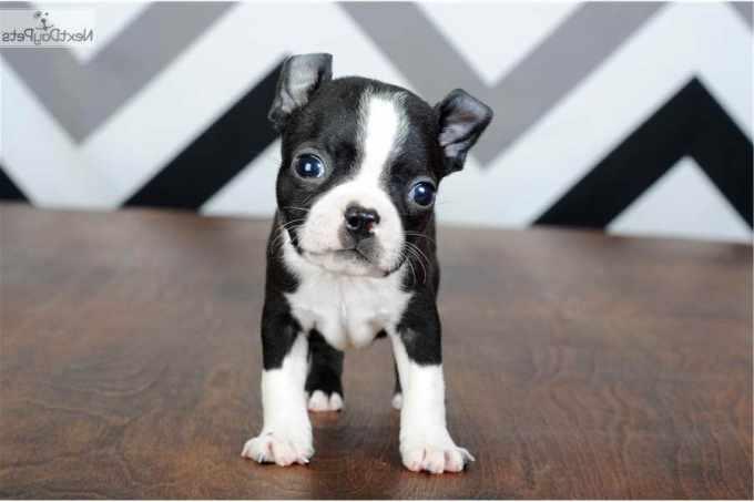 Boston Terrier Puppies Springfield Mo