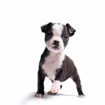 Boston Terrier Puppies Wv