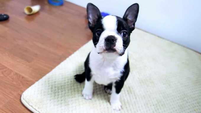 Boston Terrier Puppis