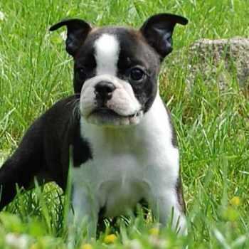 Boston Terrier Puppy Cost