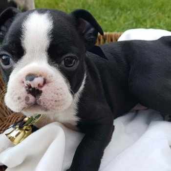 Boston Terrier Puppy For Sale
