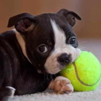 Boston Terrier Puppy Names