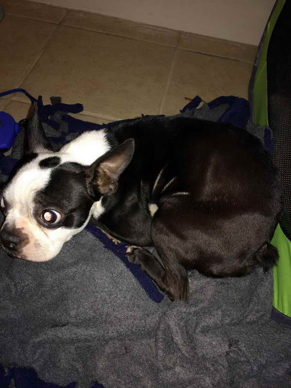 Boston Terrier Rescue Chicago