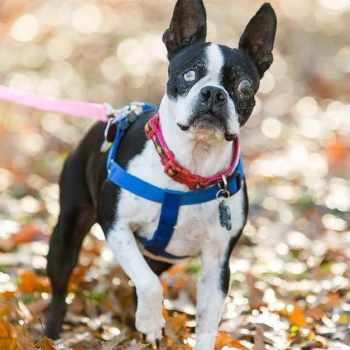 Boston Terrier Rescue Dogs