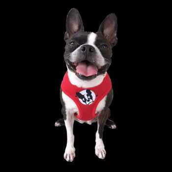 Boston Terrier Rescue Fl