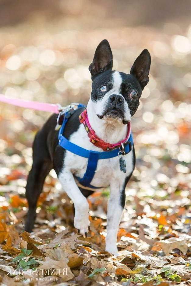 Boston Terrier Rescue Groups