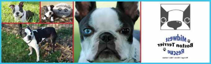 Boston Terrier Rescue Illinois