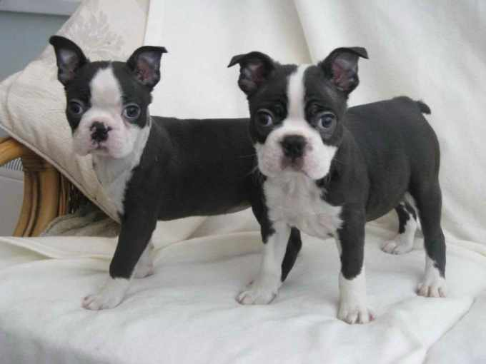 Boston Terrier Rescue Jacksonville Fl