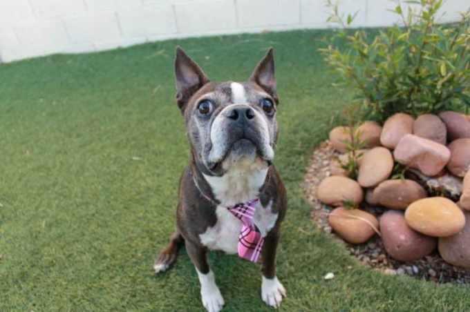 Boston Terrier Rescue Las Vegas