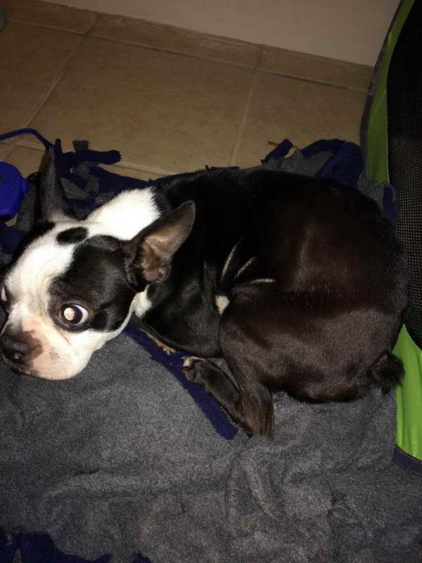 Boston Terrier Rescue New England