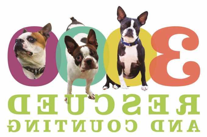 Boston Terrier Rescue Omaha