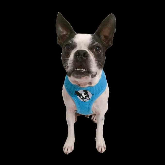 Boston Terrier Rescue Orlando Florida