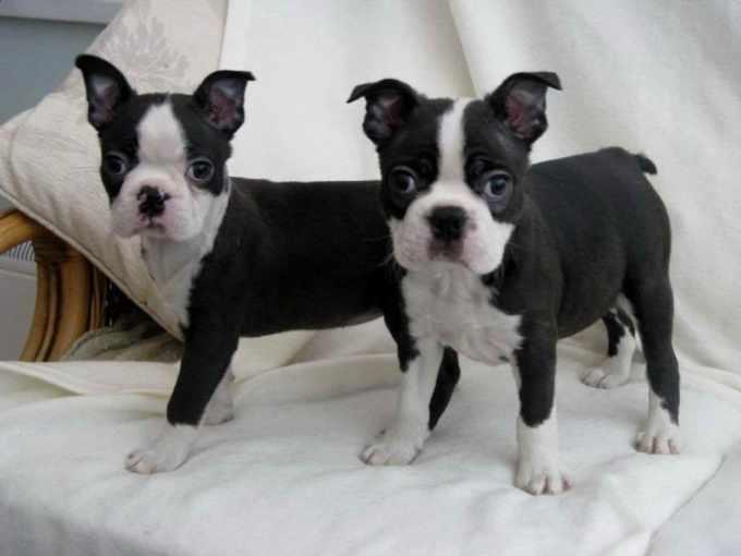 Boston Terrier Rescue Texas