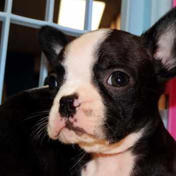 Boston Terrier Sc