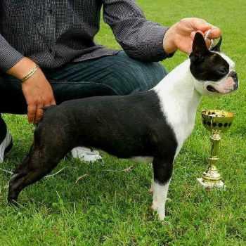 Boston Terrier Show Dogs