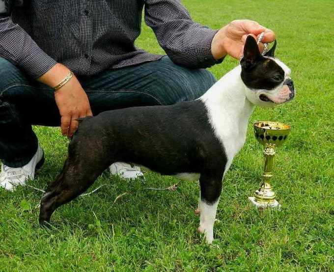 Boston Terrier Show Dogs