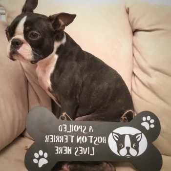 Boston Terrier Signs