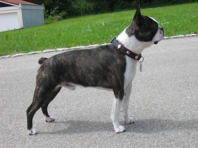 Boston Terrier Standards
