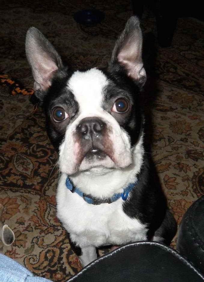 Boston Terrier To Adopt