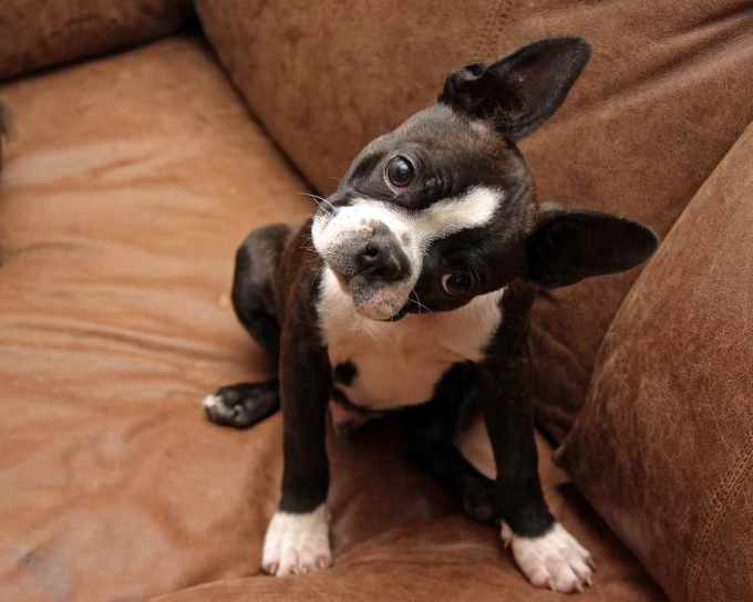 Boston Terrier Training