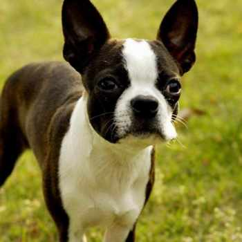 Boston Terrier Tucson
