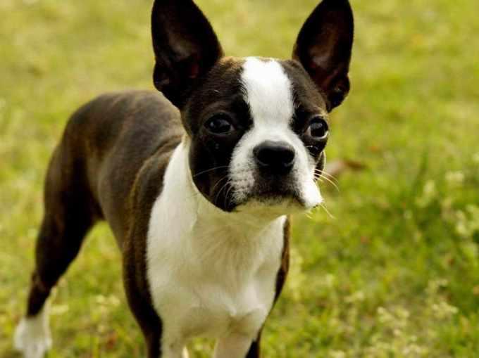 Boston Terrier Tucson