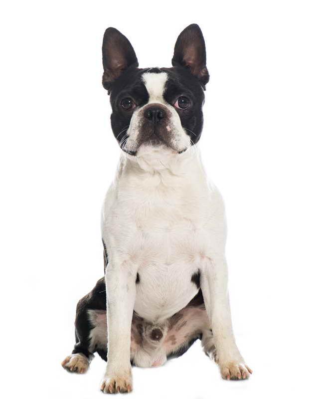 Boston Terrier Venta