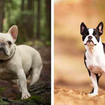 Boston Terrier Versus French Bulldog
