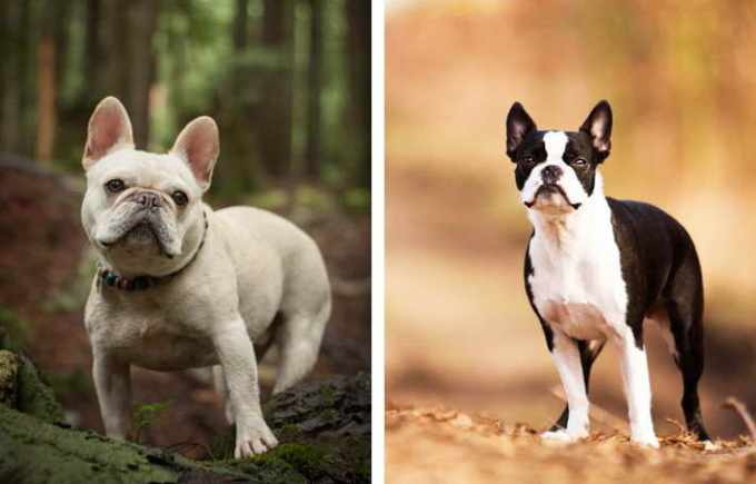 Boston Terrier Versus French Bulldog