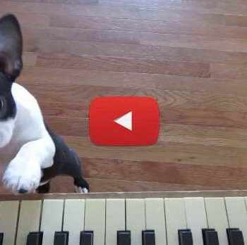 Boston Terrier Videos