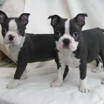 Boston Terrier Virginia