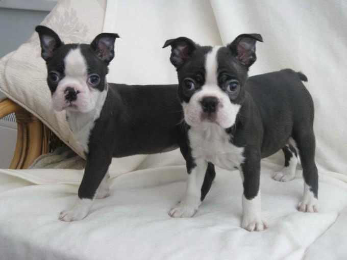 Boston Terrier Virginia