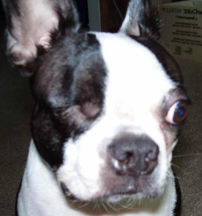 Boston Terrier Wisconsin