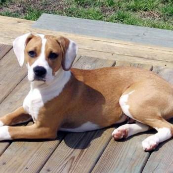 Boxer Beagle Mix For Sale