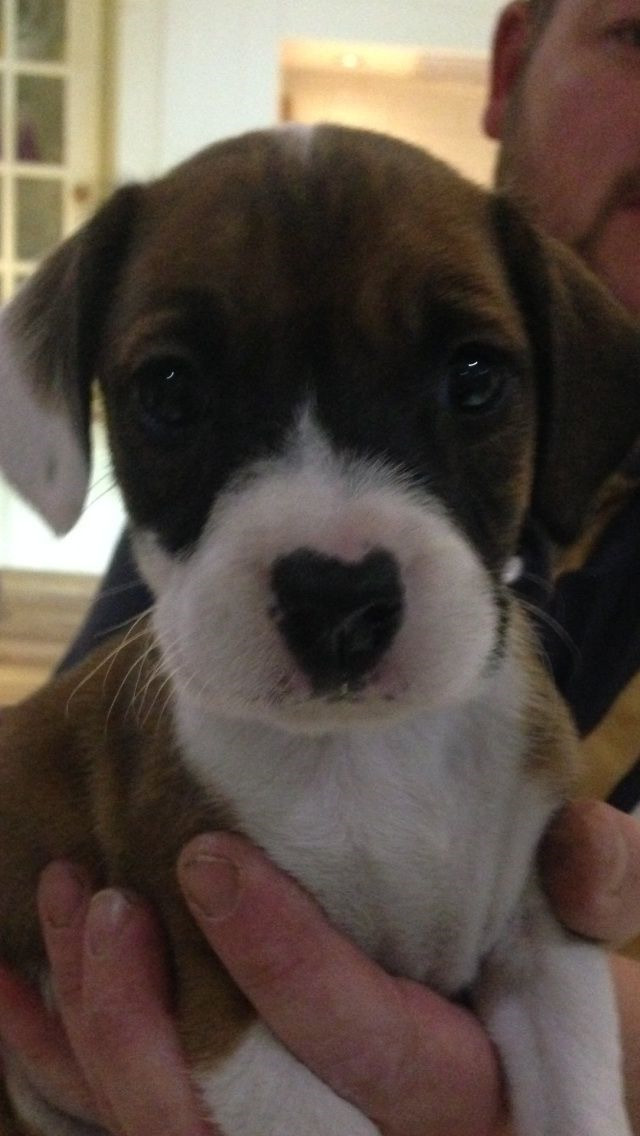 Boxer Beagle Puppies For Sale
