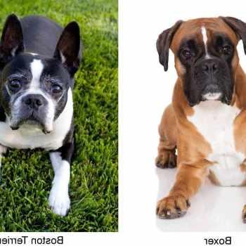 Boxer Boston Terrier Mix
