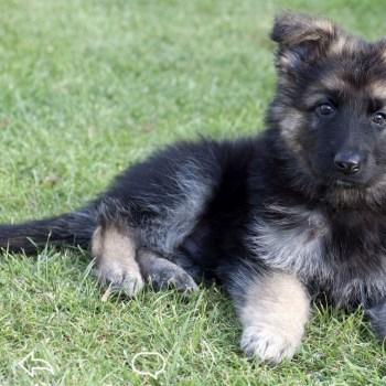 Boy German Shepherd Puppies For Sale