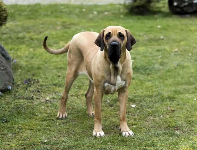 Brazilian Mastiff Dog