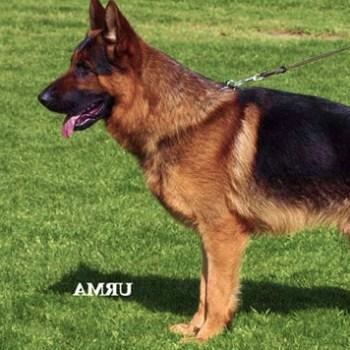 Breeder German Shepherd