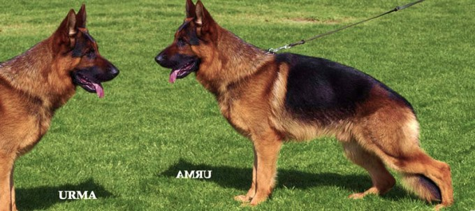 Breeder German Shepherd
