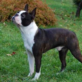 Brindle Boston Terrier For Sale