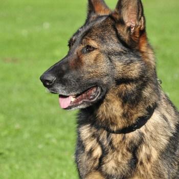 Brindle German Shepherd Puppies For Sale