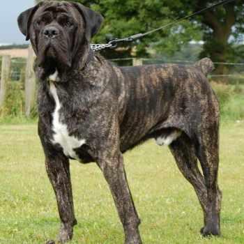 Brindle Mastiff Dog