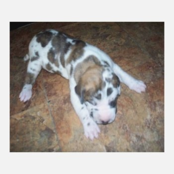 Brindlequin Great Dane Puppies For Sale