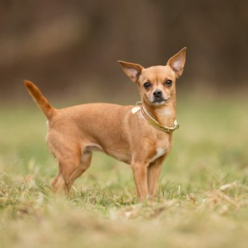 Brown Chihuahua Dog