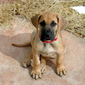 Brown Great Dane Puppies
