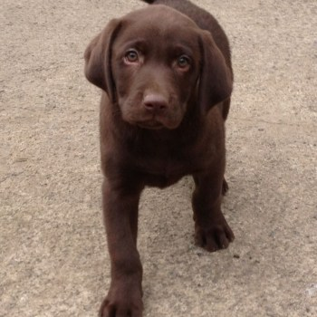 Brown Labrador Puppies For Sale