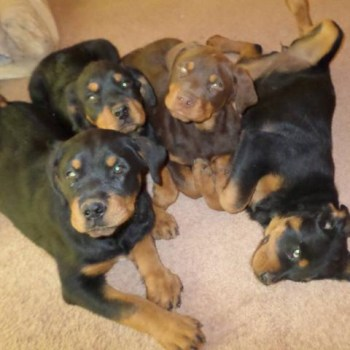 Brown Rottweiler Puppies For Sale