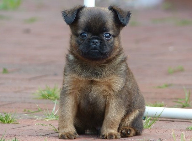 Brussels Griffon Pug Mix For Sale