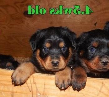 Buckeye Rottweiler Rescue